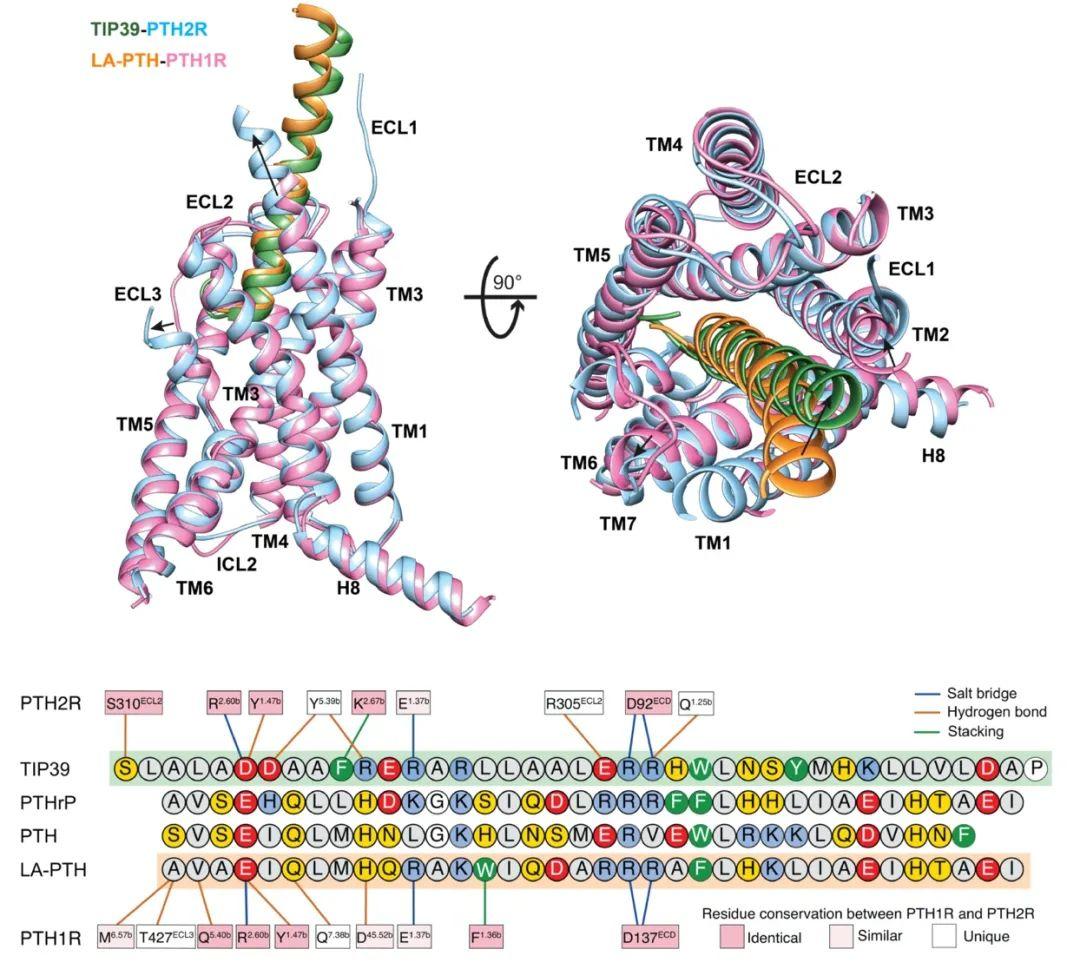 PNAS   人源甲状旁腺激素受体2复合物三维结构成功解析