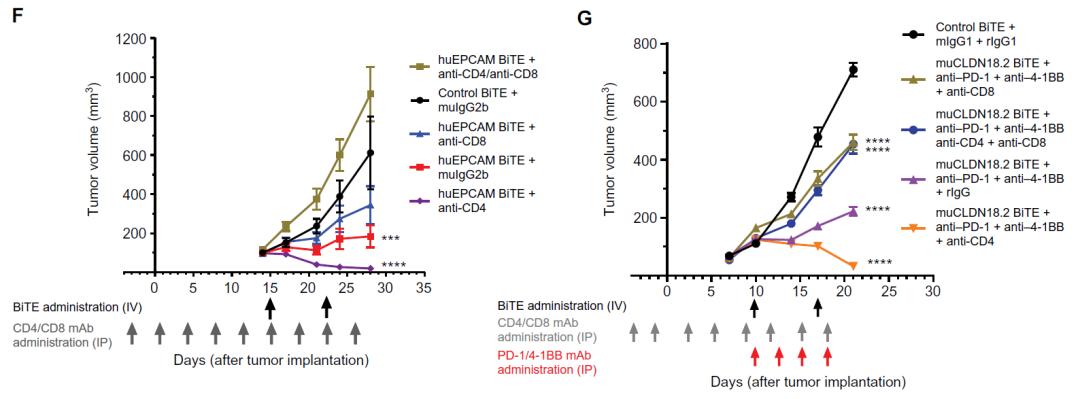 免疫疗法组合克服了冷肿瘤对双特异性T细胞衔接器治疗的抵抗