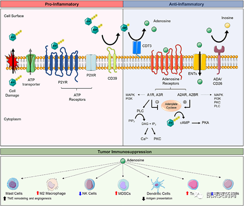 聚焦药靶:CD73,成为攻克实体瘤的新希望