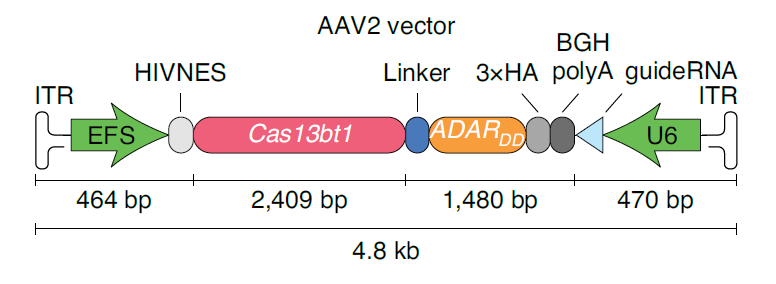 RNA编辑新突破:张锋开发出超小型Cas13蛋白,可用单个AAV递送,突破体内递送瓶颈