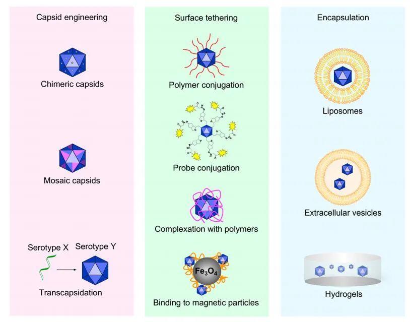 生物制药面面观:腺相关病毒在基因治疗的研究进展和未来应用